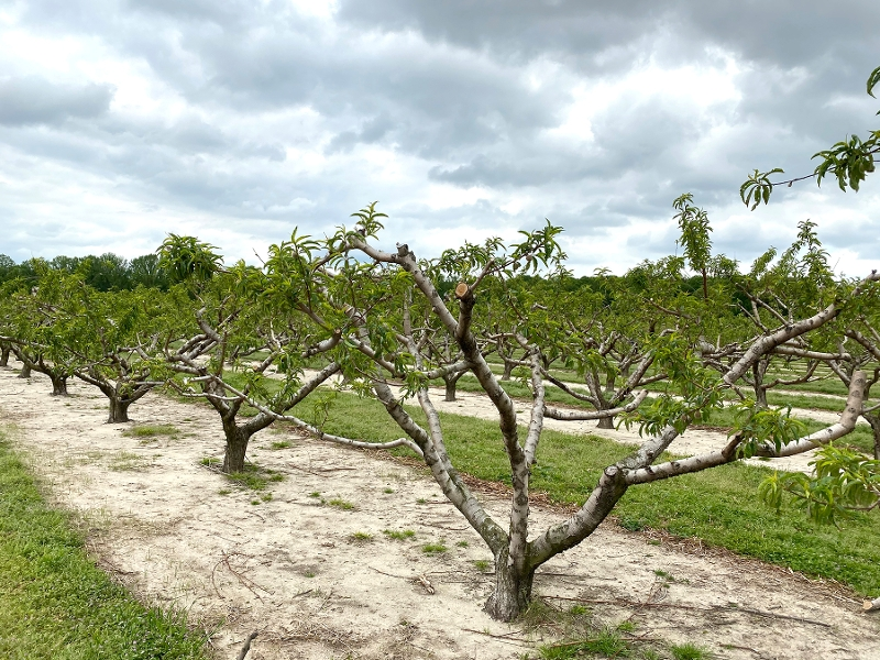 Peach Orchard image