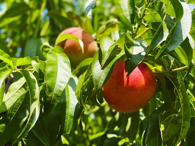 Peaches near pavillion